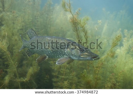 northern pike, esox lucius - stock photo