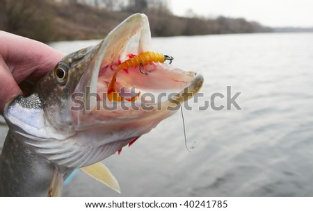 Northern pike mouth with yellow twister bait - stock photo