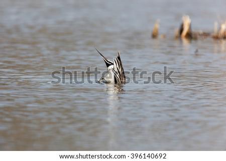 Northern Pintail (Anas acuta). Russia, Moscow, Timirjazevsky park. - stock photo