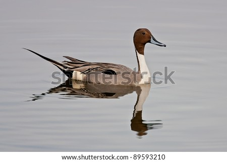 Northern pintail drake swimming in still water. - stock photo