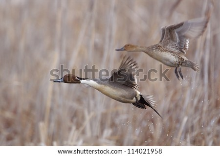 Northern Pintail pair in flight over wetland habitat; duck hunting / wingshooting; Klamath Falls Wildlife Refuge, on the California / Oregon border