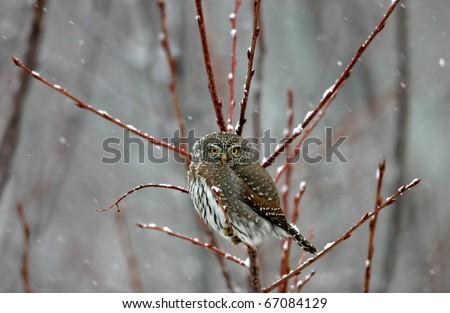 Northern Pygmy Owl - stock photo