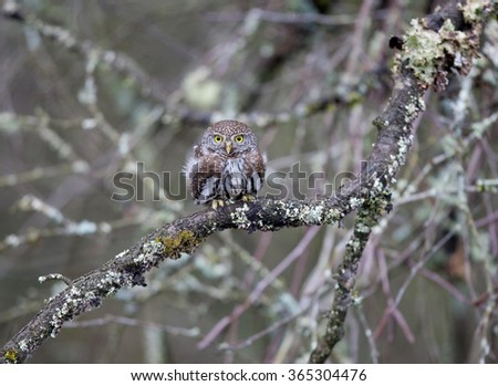 Northern Pygmy Owl perched in a tree - stock photo