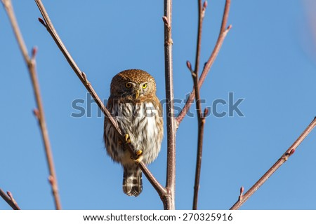 Northern Pygmy Owl resting on a tree branch   - stock photo