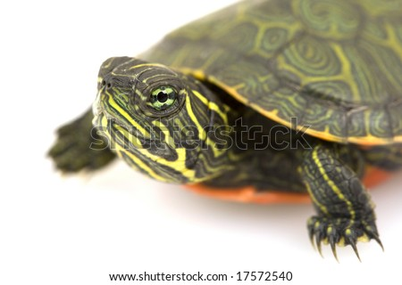 Northern Red-bellied Turtle (Pseudemys rubriventris) on white background.