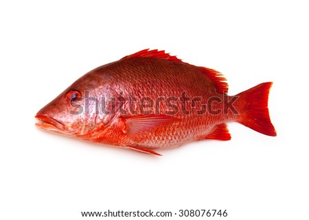 Northern Red Snapper fish, Lutjanus campechanusfish isolated on a white background. - stock photo