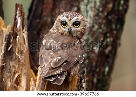 Northern Saw-Whet Owl perching on a tree stump. - stock photo