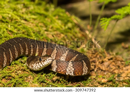Northern Water Snake - stock photo