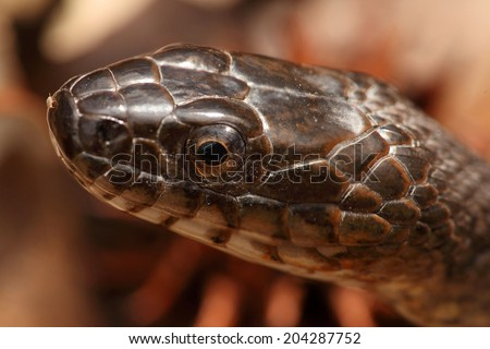 Northern Water Snake (nerodia sipedon) sunning itself in spring