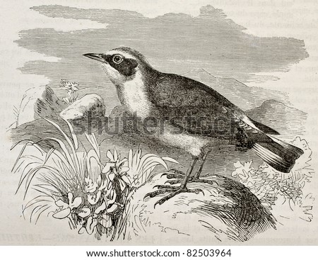 Northern Wheatear old illustration (Oenanthe oentanthe). Created by Kretschmer, published on Merveilles de la Nature, Bailliere et fils, Paris, 1878