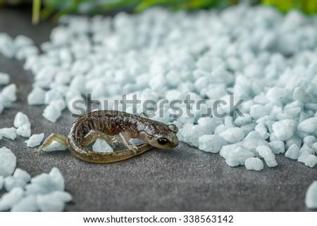 Northwestern Salamander baby on rocks - stock photo