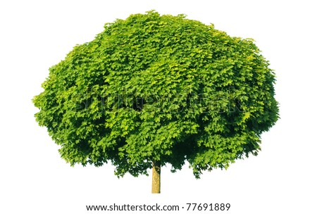Norway maple(Acer platanoides) isolated on a white background - stock photo