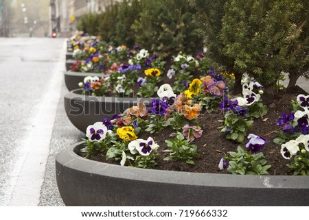 Norway Oslo Pansy Viola Tricolor Flowers Stock Photo (Royalty Free ...