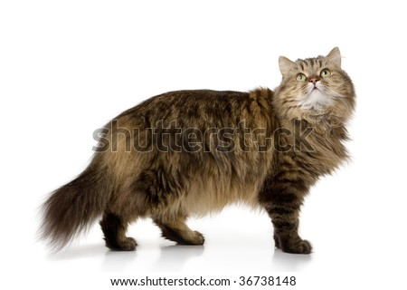 Norwegian domestic cat stand and looking up - stock photo
