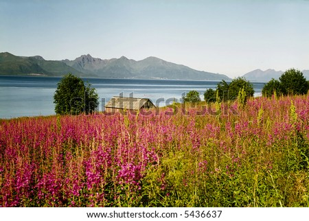Norwegian fjord small wooden cabin and a lot of pink flowers - stock photo