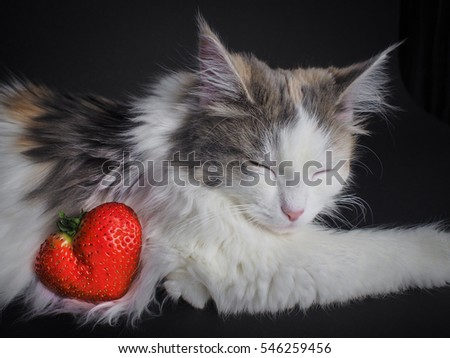 NORWEGIAN FOREST CAT   AND  STRAWBERRY