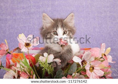 Norwegian Forest Cat kitten eating biting faux fake flowers against lilac purple background