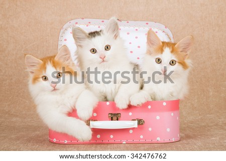 Norwegian Forest Cat kittens sitting inside miniature pink polka dot suitcase luggage on beige background  - stock photo