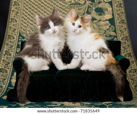 Norwegian Forest Cat kittens sitting on miniature couch sofa - stock photo
