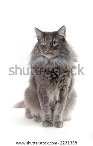 norwegian forest cat sitting down - stock photo