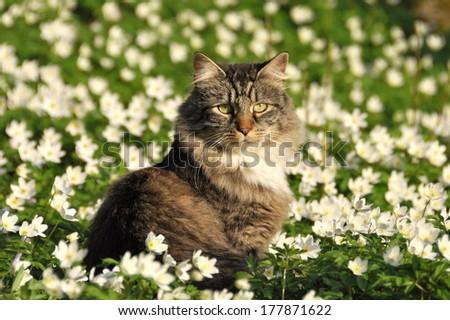 Norwegian forest cat sitting in a flower field - stock photo
