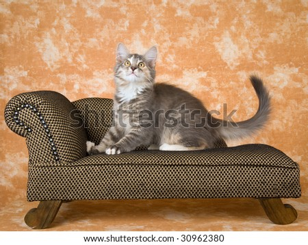 Norwegian Forest Cat tortie kitten sitting on miniature couch sofa chaise - stock photo