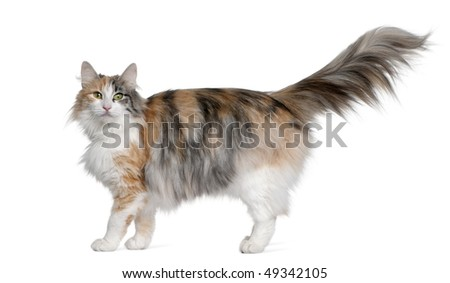 Norwegian Forest Cat, 3 years old, standing in front of white background - stock photo