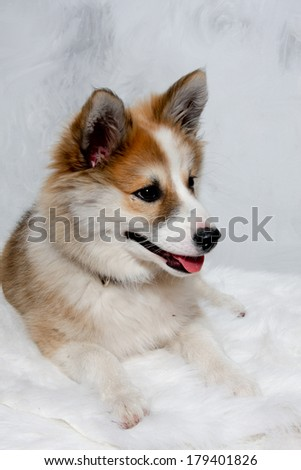 Norwegian lundhund dog is resting. Some people also call it a Norwegian Puffin Dog. - stock photo