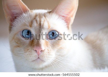 nose of a cat from the European white coat with blue eyes