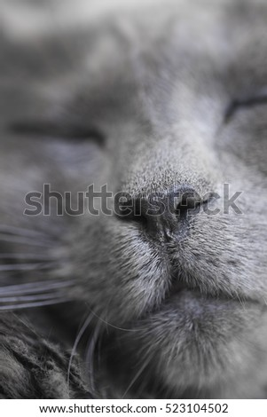Nose of a rare sleeping Nebelung cat. Focus on nose