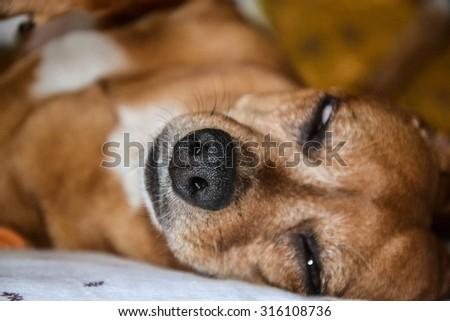 Nose of a sleeping dog-animal concept - stock photo