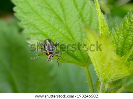 nosy soldier beetle