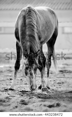 Not a color image of the sports horse walks in the paddock - stock photo