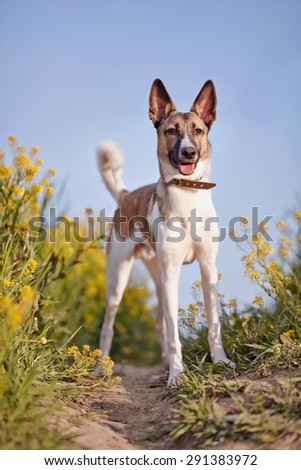 Not purebred domestic dog in a collar on walk in yellow flowers. - stock photo
