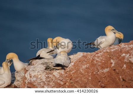 Nothern gannet in love - stock photo