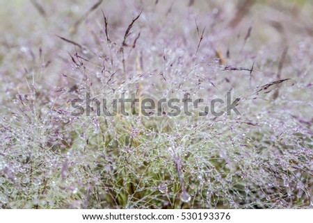 November, pink grass at Suoi Vang lake, Da Lat, Vietnam. ( macro )