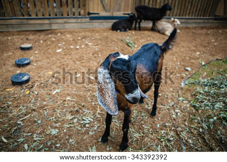 Nubian goat in the paddock - stock photo