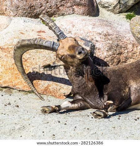 Nubian ibex (goat) male sleeping on the ground portrait - stock photo