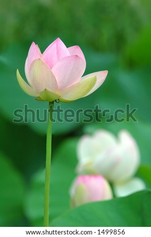 nucifera is known by a number of common names : kamal, renkon, hasu, lian, Egyptian lotus, teratai, sacred water - lily, sacred lotus, bunga telpok, ngau, baino, nelun ala, bua-luang - stock photo