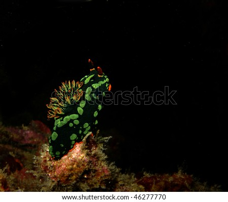 nudibranch - stock photo