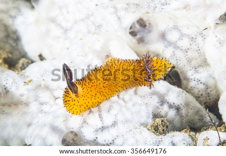Nudibranch Jorunna parva  crawling very slowly on coral reef of Anilao area, the Philippines. - stock photo