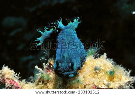 Nudibranch (Milleris nembrotha) is crawling along a reef, Panglao, Philippines - stock photo