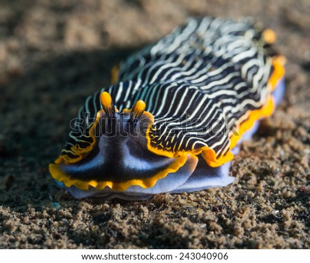 Nudibranch or sea slug - stock photo