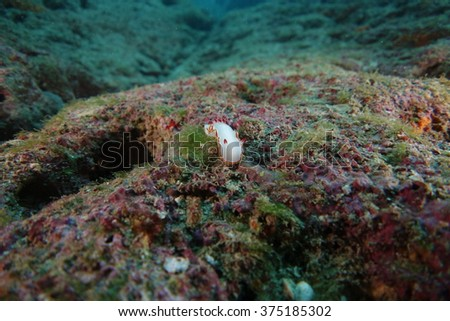 Nudibranch underwater - stock photo