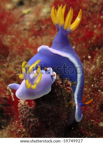 Nudibranches - Hypseldoris Apolegma. Underwater - stock photo