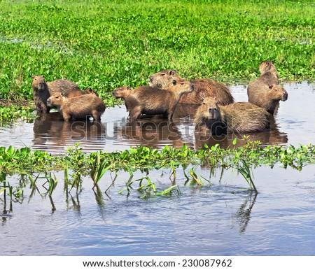Numerous family of the capybara in the El Cedral - Los Llanos, Venezuela, South America - stock photo