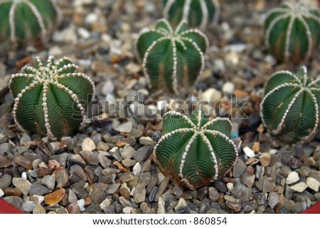Numourous young cacti in a nursery. - stock photo