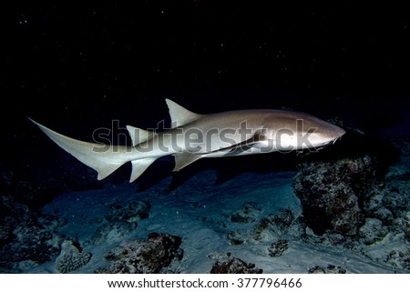 Nurse Shark and yellow pilot fish close up on black background while diving in Maldives - stock photo