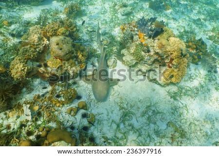 Nurse shark, Ginglymostoma cirratum, resting on seabed of the Caribbean sea - stock photo