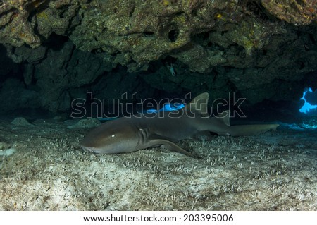 Nurse Shark in Cave - stock photo